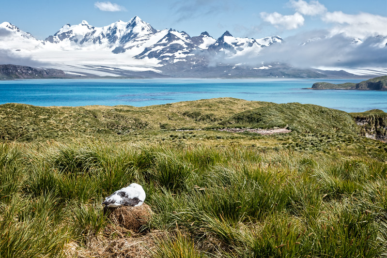 We made our way to Prion Island where we climbed a small hill to get this view of a wandering albatross on a nest.