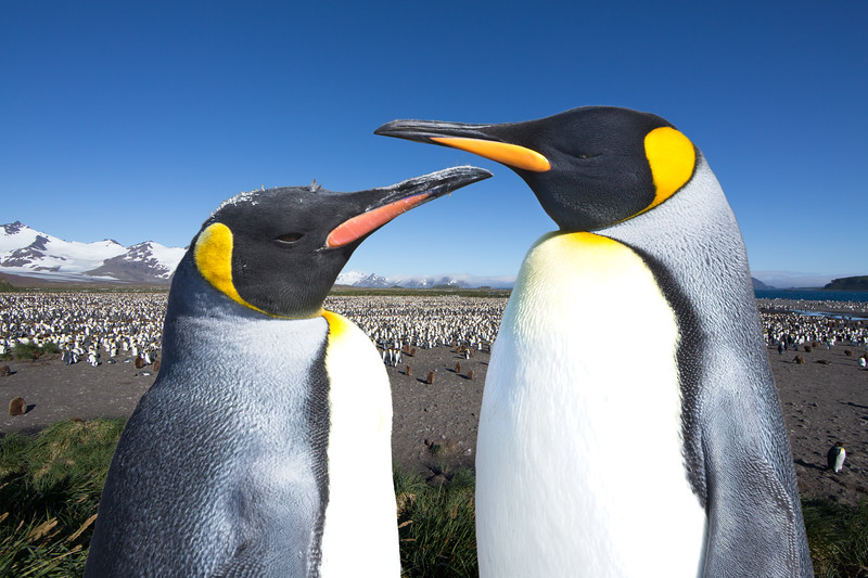 Two king penguins looking out over the vast colony at Salisbury Plains.