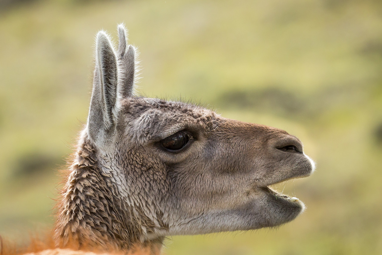 Guanacos stand about 6 feet tall, weigh about 200-300 pounds, and live about 25 years.