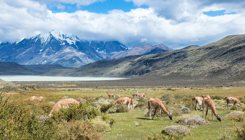 A small herd of guanacos. These animals were relatively unafraid of humans up to a distance of about 25 feet.