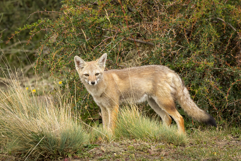 This red fox stopped to give us a look. It was the only fox we saw during our time in the park. The park also has pumas, but we never saw one on this trip.