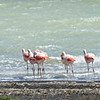Flamingos on Lake  Amargo.