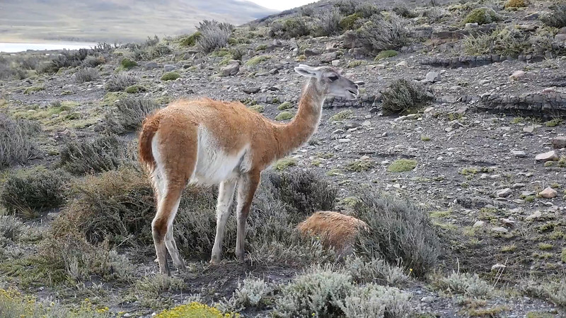 Guanaco Waking Up
