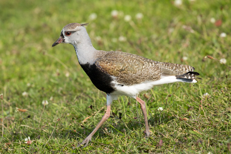 This is a southern lapwing, a common bird throughout South America.