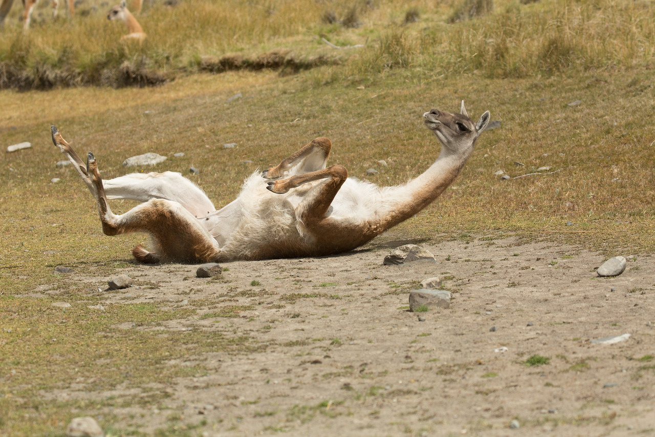 Guanacos do sit-ups each morning. Actually this female is scratching her back.