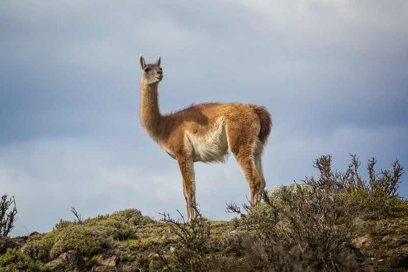 On our drive to the park we were vigilant in spotting this animal. It looks like a llama or alpaca, but it's actually a guanaco, a common sight around the park.