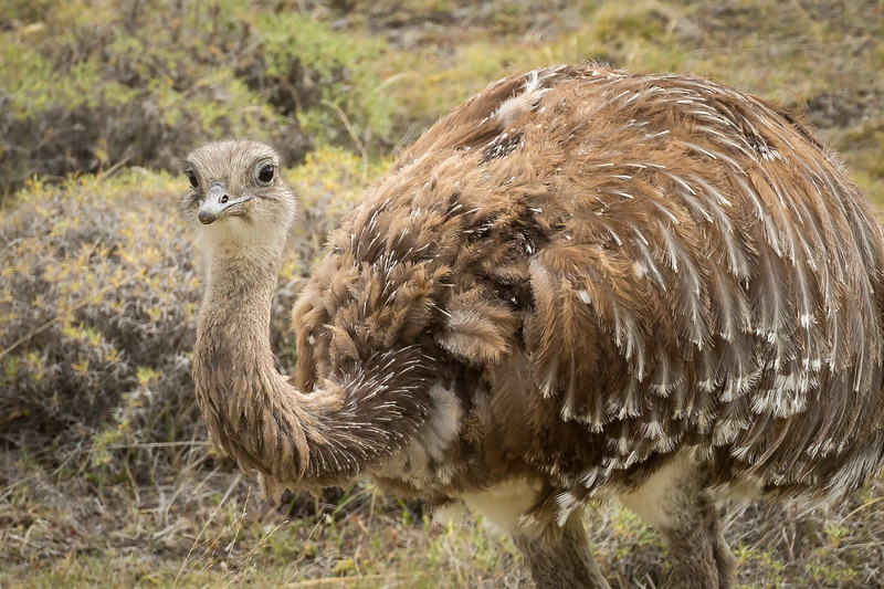 Is it an ostrich or an emu? Neither one. It is a rhea, which is related to the ostrich family. Rheas  may stand up to six feet tall and weigh 90 lbs. They are declining in number and are on the near-threatened list.