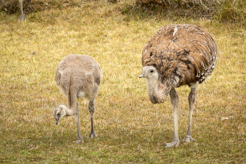 A young rhea and her mother. Rheas are  flightless birds.