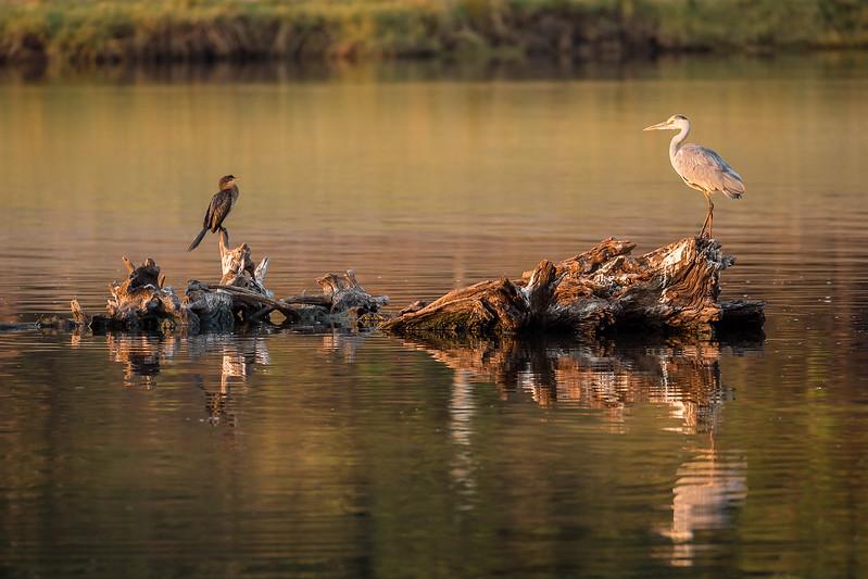 Grey heron and cormorant