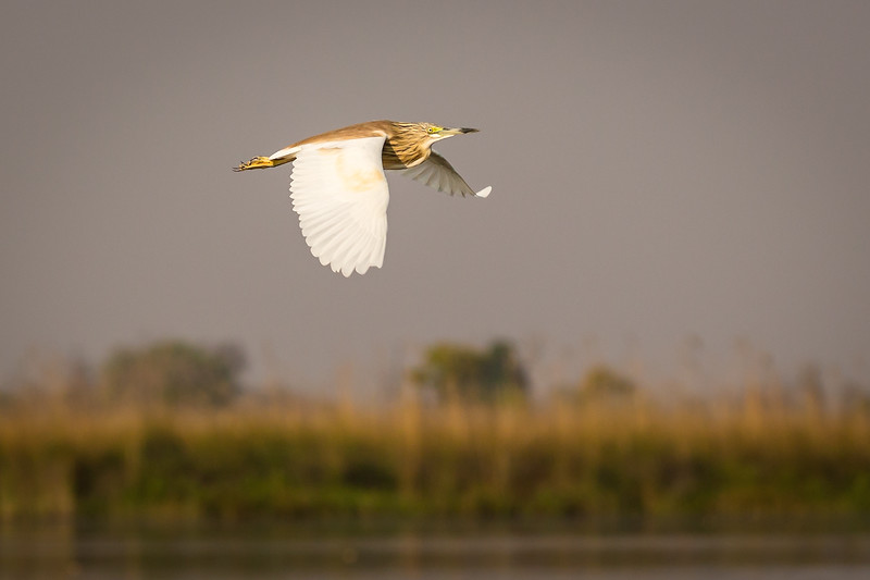Squacco heron in flight