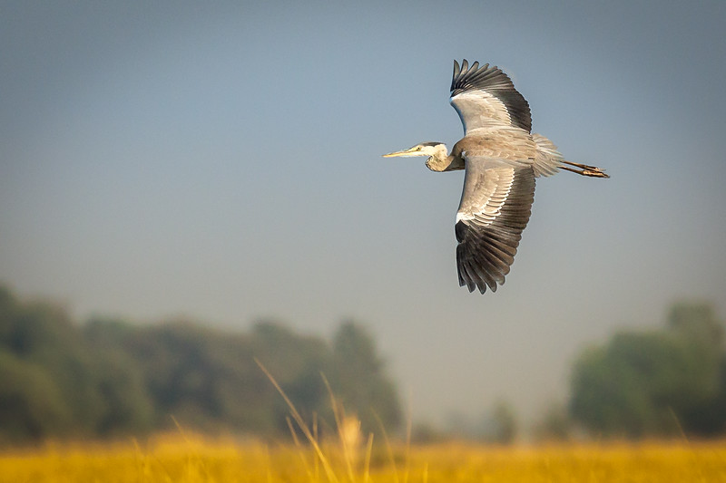 Grey heron sweeping across the horizon