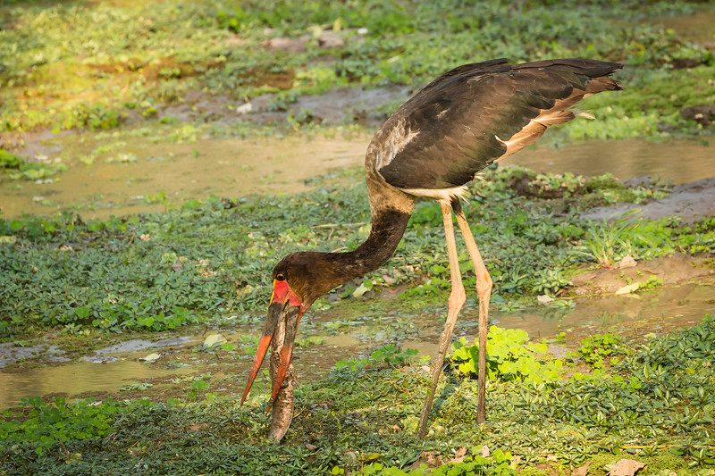 This saddle-billed stork caught this fish and then spent 10 minutes spearing it with her beak to soften it up. Then in one quick move it gulped it down whole.