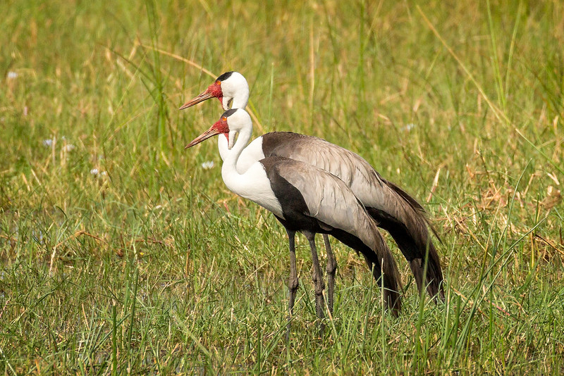 Crane (wattled)