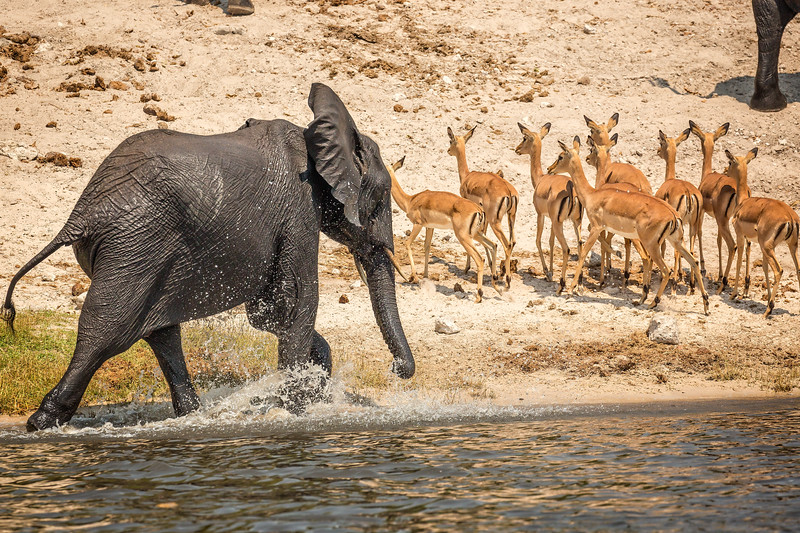This young  elephant had fun chasing the impala away from the water.