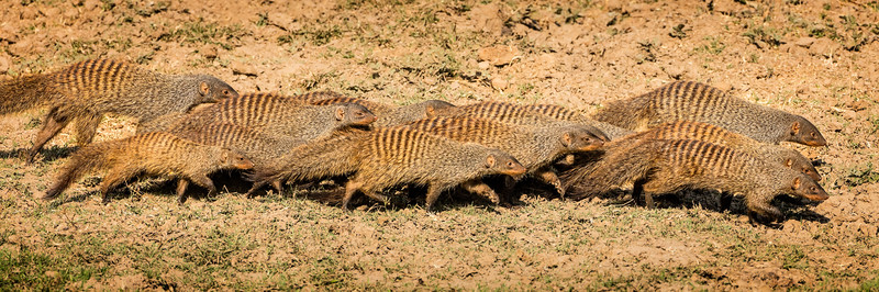 Banded mongooses traveling in a close pack