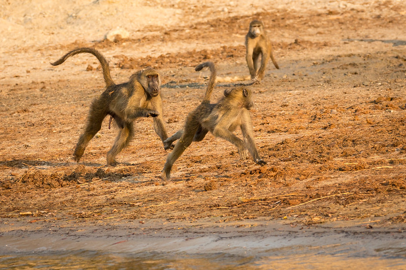 Baboons are so much fun to watch them play