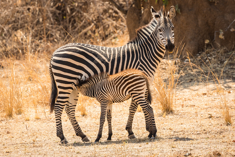 Young zebra nursing