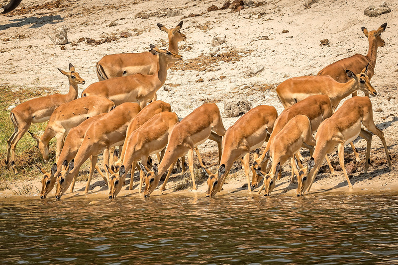 Impala drinking from the Chobe River
