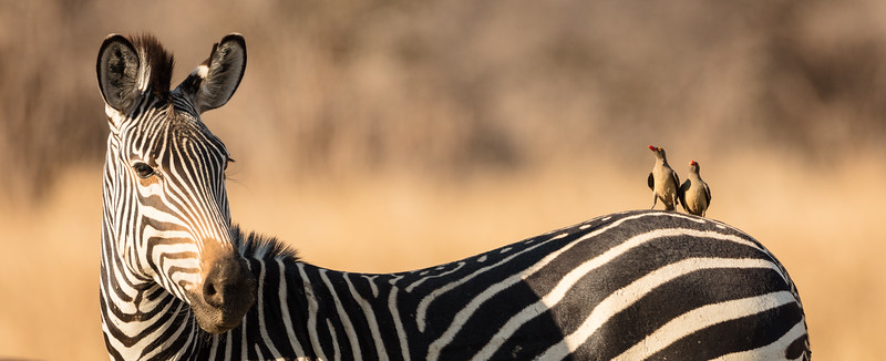 Zebra with with two red-billed oxpexkers
