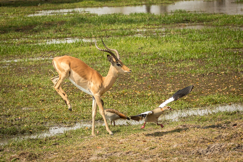 Leaping impala scaring an Egyptian goose