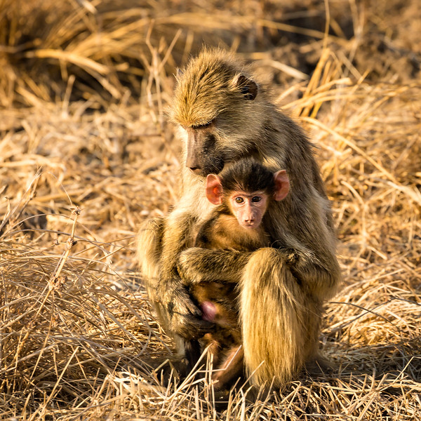 Mother baboon with her cute youngster