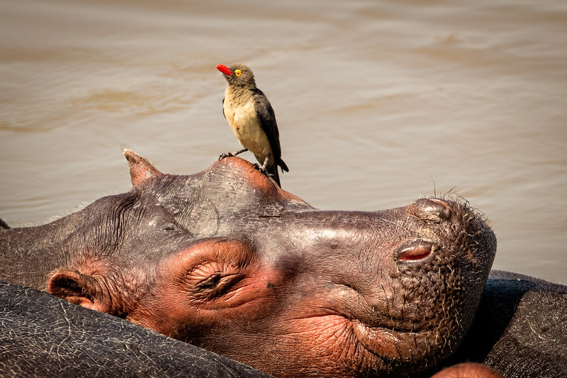 Oxpeckers keep bugs off of hippos. Sometimes they choose interesting places to sit.