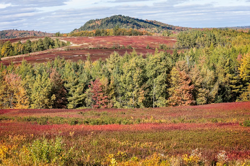 Blueberry field in northern Maine