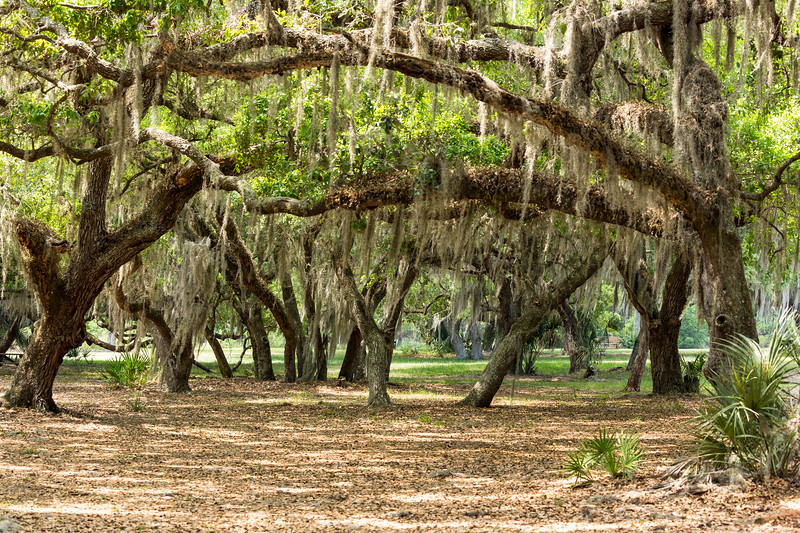 Beautiful live oak canopies