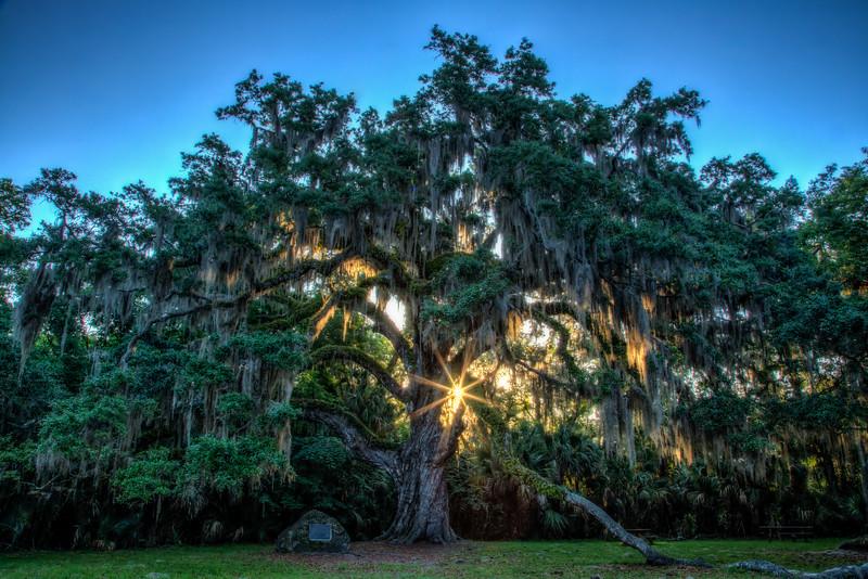 A 2000-year-old oak tree