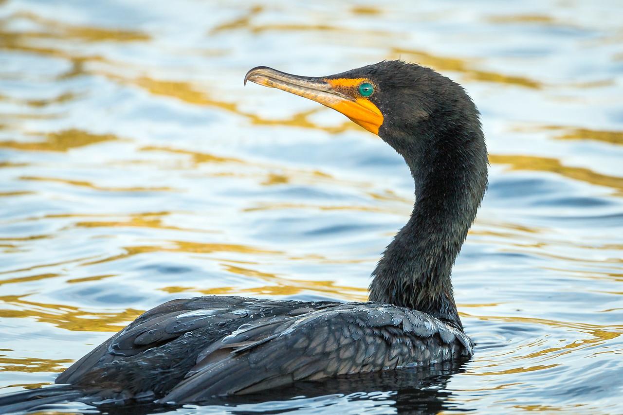 Curious cormorant