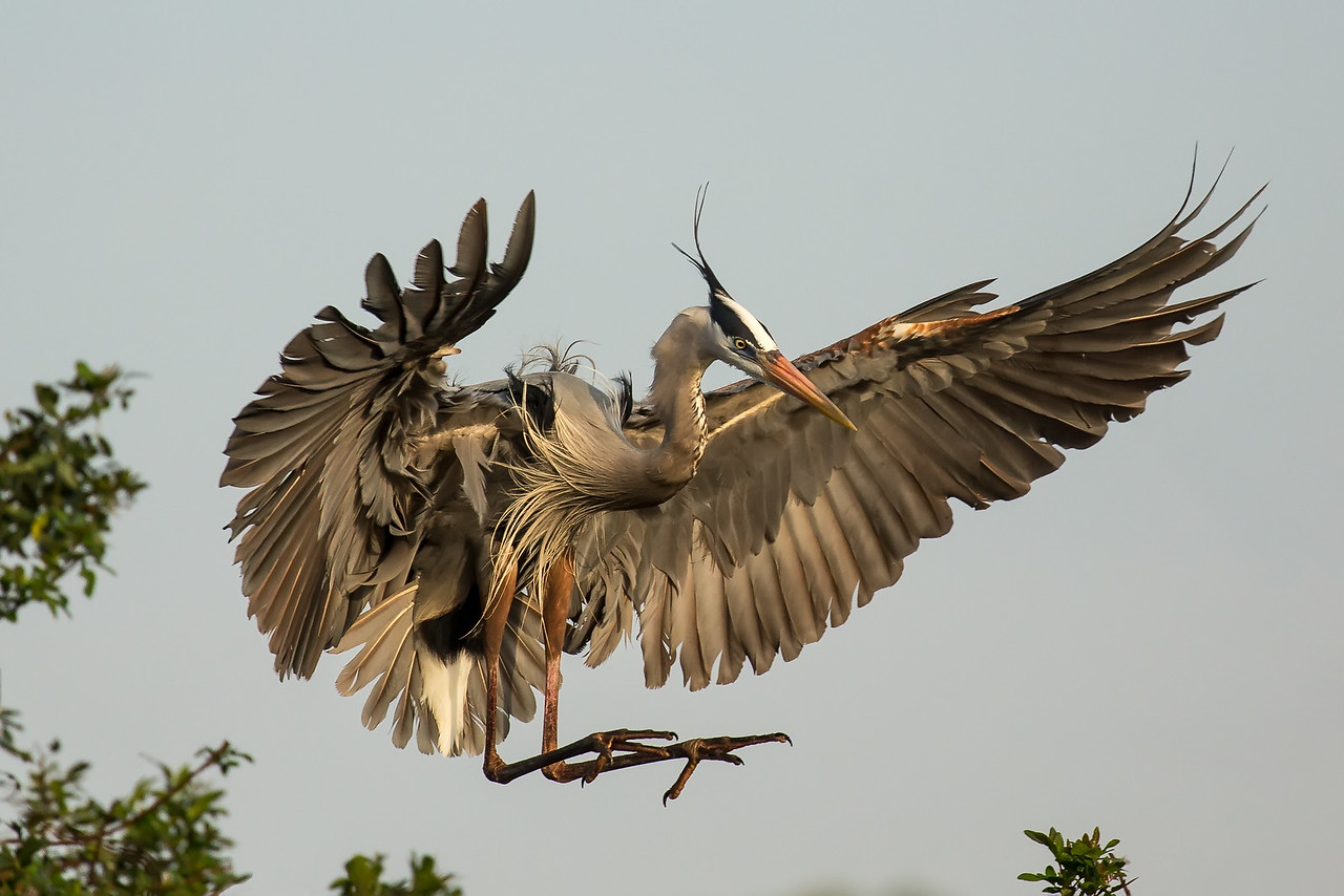 Great blue heron with flaps down for a soft landing