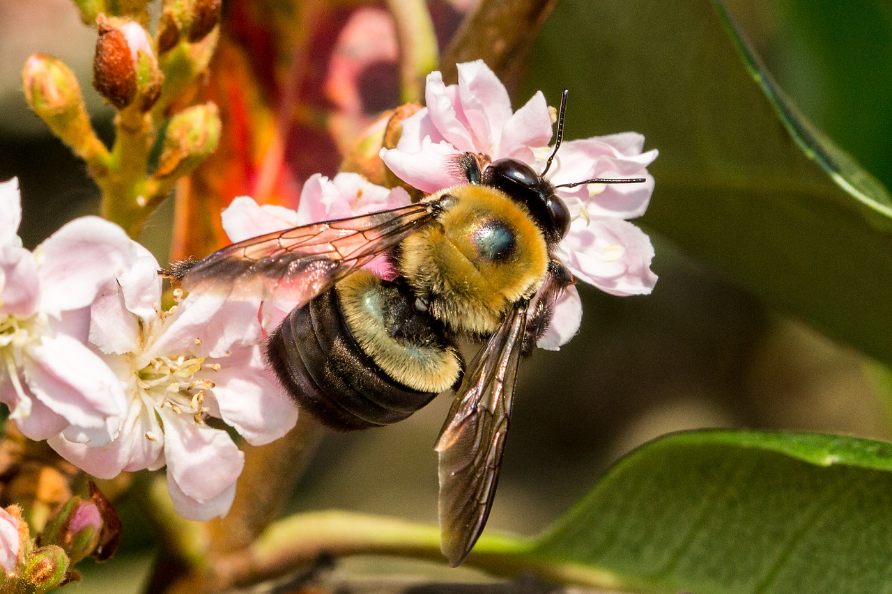 Bee in search of pollen on our tree