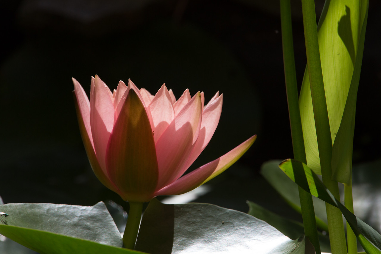 Water lilly in our front pond