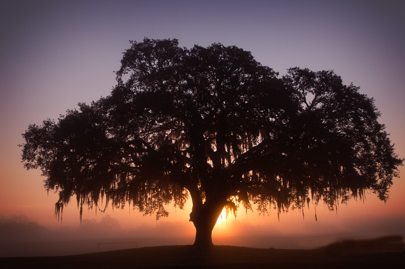 Sunrise behind a live oak with ground fog