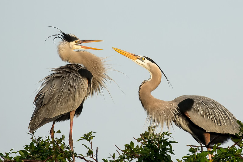 Blue herons in conversation.