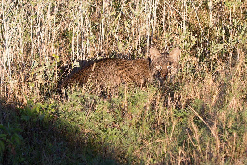 Bobcat in the bush