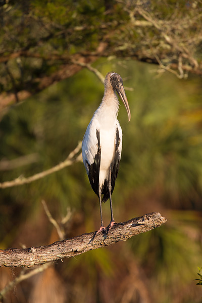 Perched woodstork