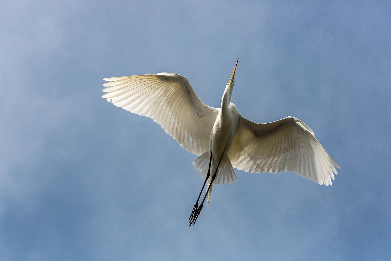 Great egret overhead