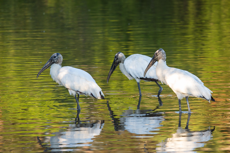 Trio of woodstorks fishing