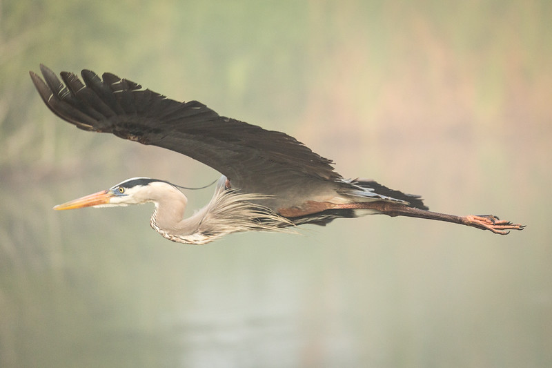 We have amazing bird life. Here is a great blue heron in flight