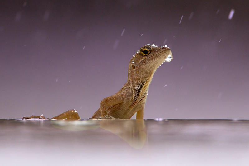 Geko pelted by the rain