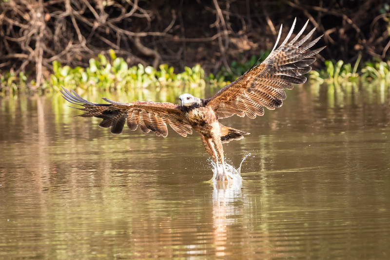 Let's go fishing again. Here a black-collared hawk has just grabbed a fish.