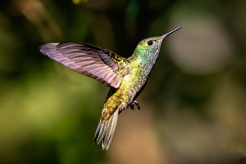 The most colorful of the hummingbirds.