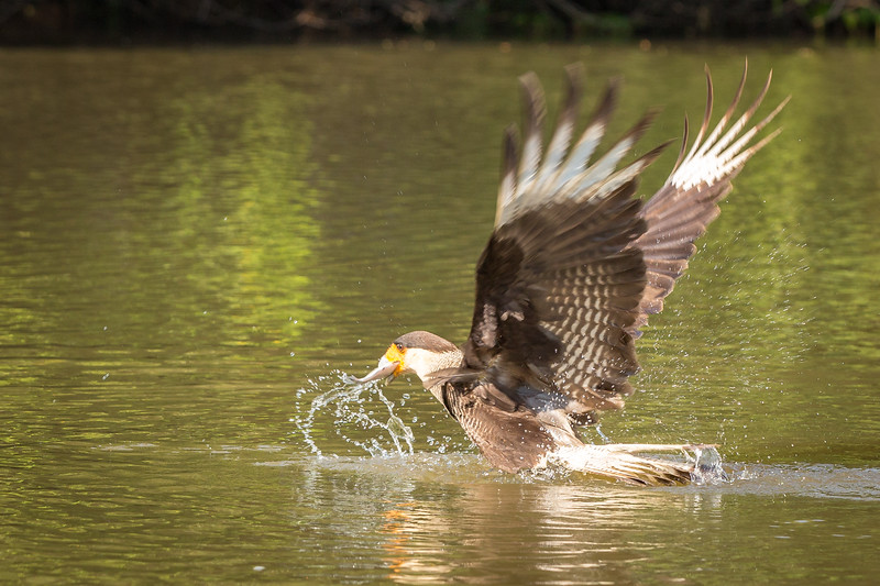 Here is another caracara capturing a fish.