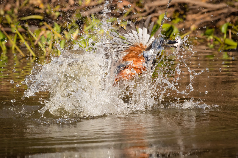 Look at how the ringed kingfisher speared the fish. I liked the way the camera captured the spray as the bird hit the water.