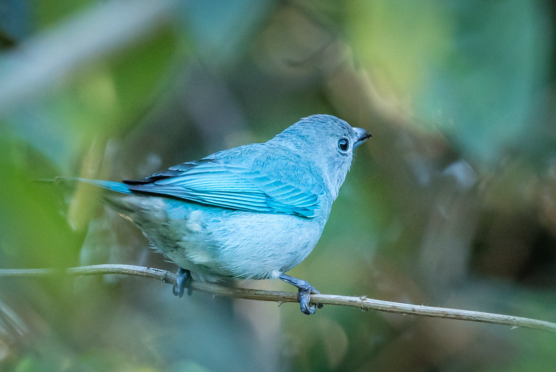 This striking blue bird is a Sayaca tanager.