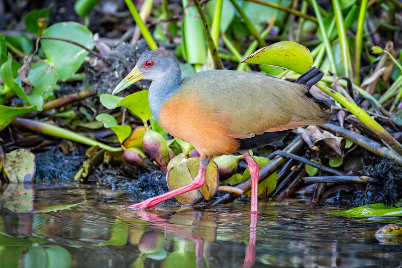 A grey-necked wood rail walking in stealth mode along the edge of the river looking for a fish.