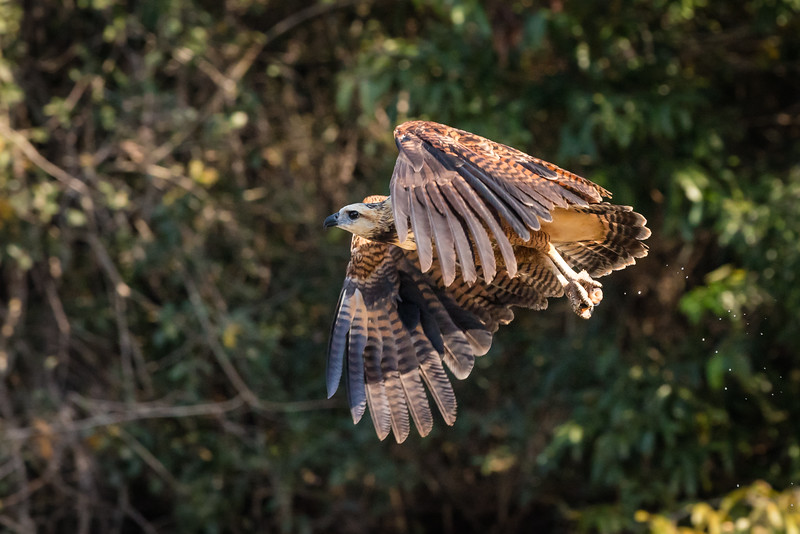 The hawk has a small fish (mouth open) in its powerful talons.