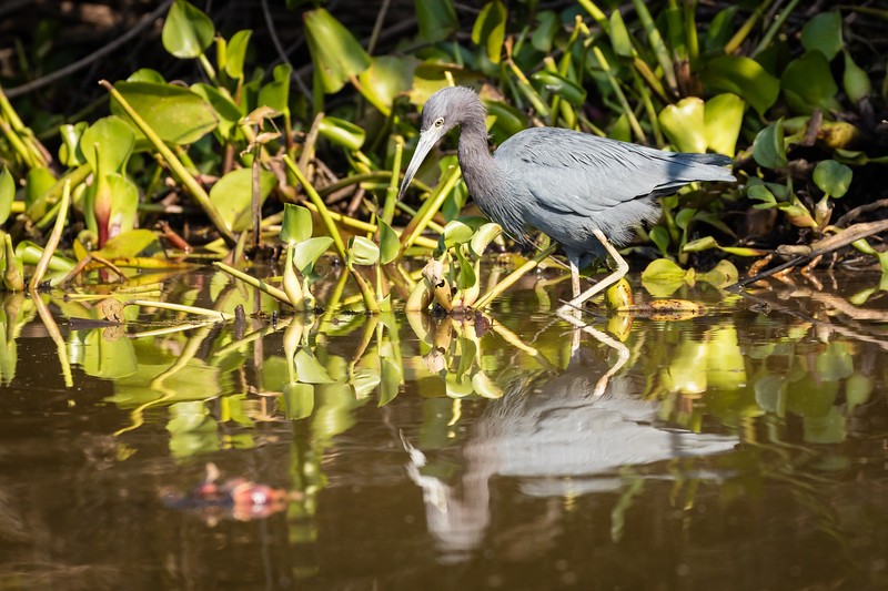 Little blue heron looking at its shadow.