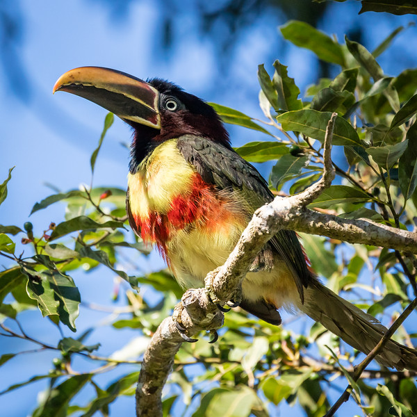 Julie and I followed this bird from one tree to the next to get this shot. It's a chestnut eared aracari, part of the toucan family.